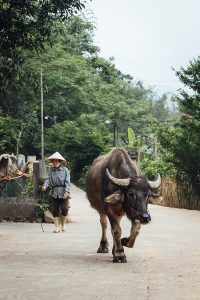 buffalo-ride-in-tha-village